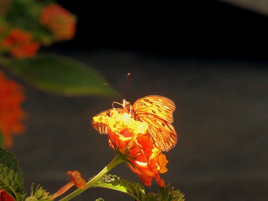 Butterfly 001